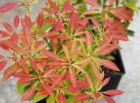 Schattenglöckchen Valley Rose • Pieris japonica Valley Rosa