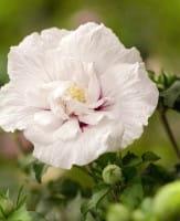 Garteneibisch China Chiffon® • Hibiscus China Chiffon