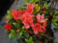 Japanische Azalee Satschiko / Geisha Orange • Rhododendron obtusum Satschiko