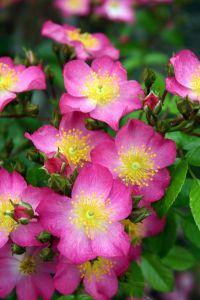 Rose Juanita ® • Rosa Juanita ®