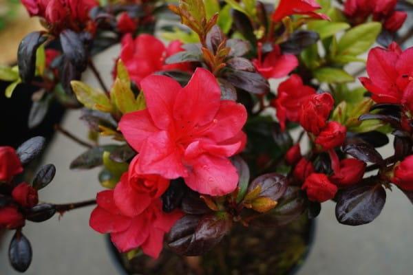 Rhododendron Maruschka • Rhododendron obtusum Maruschka