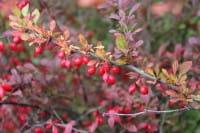 Hecken Berberitze • Berberis thunbergii