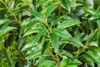 Portugiesischer Kirschlorbeer • Prunus lusitanica