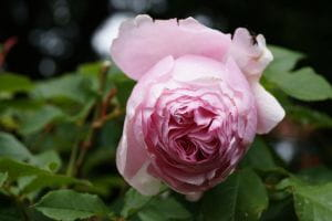 Nostalgie-Edelrose Gartenträume • Rosa Gartenträume