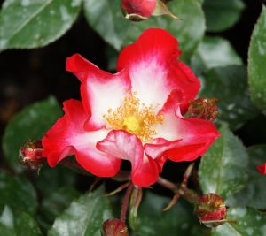 Rose Cherry Meidiland • Rosa Cherry Meidiland