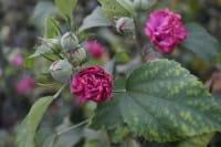 Hibiskus Eibisch Duc de Brabant • Hibiscus Duc de Brabant