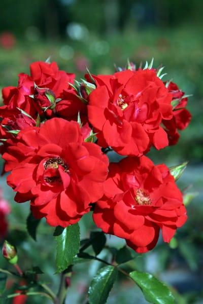 Rose Brillant Korsar • Rosa Brillant Korsar
