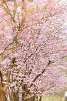 Frühe Zierkirsche Accolade • Prunus Accolade