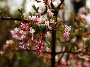 Duftschneeball • Viburnum farreri
