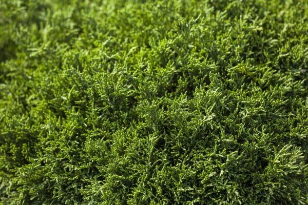Zwerg-Mooszypresse Plumosa Aurea Compacta • Chamaecyparis pis.Plumosa Aurea Compacta