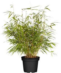 Bambus Asian Wonder • Fargesia scabrida Asian Wonder