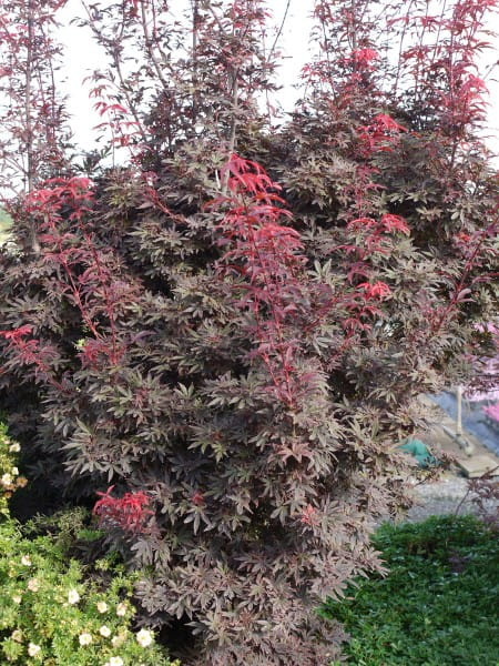 Fächerahorn Purple Ghost • Acer palmatum Purple Ghost