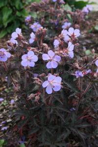 Storchschnabel Hocus Pocus • Geranium pratense Hocus Pocus