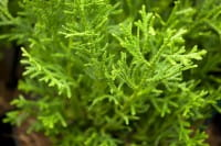 Zwerg-Hiba-Lebensbaum • Thujopsis dolabrata Nana