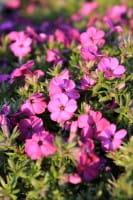 Garten-Teppich-Flammenblume Red Admiral • Phlox douglasii Red Admiral