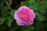 Strauchrose Louise Odier • Rosa Louise Odier