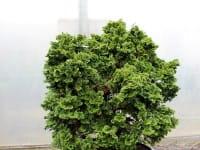Kleine Muschelzypresse Nana Gracilis • Chamaecyparis obtusa Nana Gracilis
