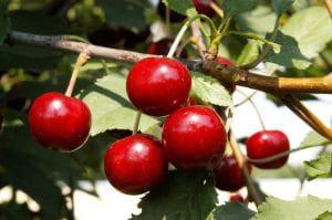 Sauerkirsche Schattenmorelle • Prunus cerasus Schattenmorelle
