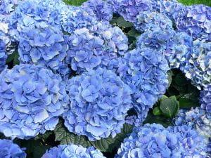 Bauernhortensie Generale Victomtesse de Vibraye • Hydrangea macrophylla Generale Vicomtesse de Vibra
