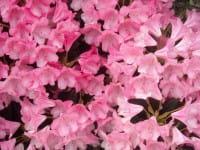 Rhododendron Karminkissen • Rhododendron yakushimanum Karminkissen