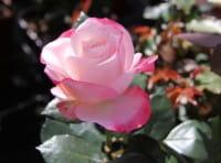 Rose Nostalgie ® • Rosa Nostalgie ®