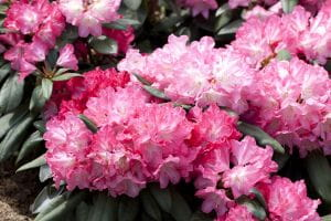 Rhododendron Anuschka • Rhododendron yakushimanum Anuschka