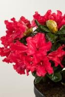 Zwergrhododendron Scarlet Wonder • Rhododendron repens Scarlet Wonder