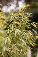 Gartenbambus Jiuzhaigou • Fargesia murieliae Jiuzhaigou