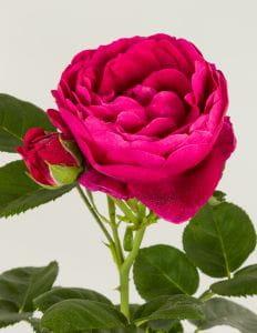 Nostalgie-Edelrose Ascot • Rosa Ascot