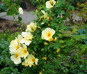 Strauchrose Frühlingsgold • Rosa Frühlingsgold