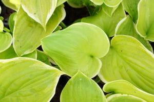 Weißgerandete Funkie Fragrant Bouquet • Hosta plantaginea Fragrant Bouquet