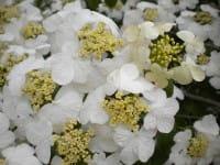 Schneeball Cascade • Viburnum plicatum Cascade