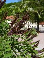 Bleibusch • Amorpha fruticosa