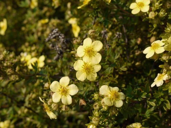 Fingerstrauch Goldteppich • Potentilla fruticosa Goldteppich