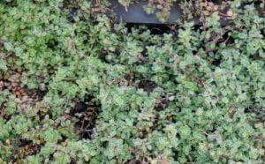 Wolliger Thymian • Thymus praecox var.pseudolanuginosus