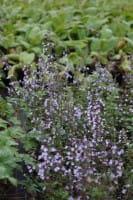 Kleinblütige Garten Bergminze • Calamintha nepeta Lila Riese
