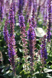Garten-Salbei - Salvia nemerosa Ostfriesland