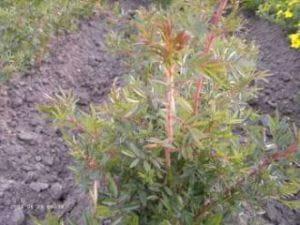 Glanzblättrige Rose • Rosa nitida - Wildrose