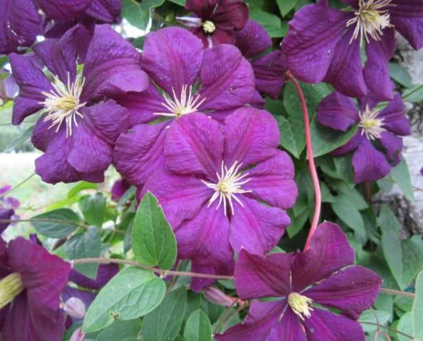 Waldrebe Etoile Violett • Clematis viticella Etoile Violett