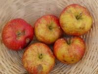 Apfel Schöner aus Bath • Malus Schöner aus Bath