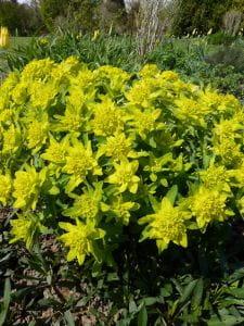 Gold-Wolfsmilch • Euphorbia polychroma