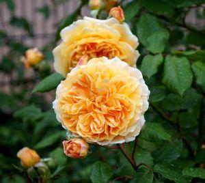 Rose Crown Princess Margareta • Rosa Crown Princess Margareta