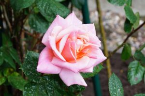 Nostalgie-Kletterrose Barock • Rosa Barock