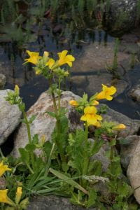 Gelbblühende Gauklerblume • Mimulus luteus