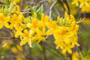 Rhododendron Goldtopas • Rhododendron luteum Goldtopas