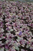 Garten Günsel Burgundy Glow • Ajuga reptans Burgundy Glow