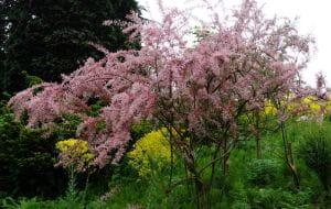 Frühlings-Tamariske • Tamarix parviflora
