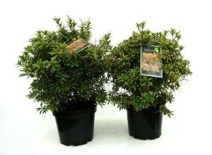 Japanische Lavendelheide Little Heath • Pieris japonica Little Heath