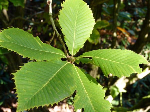 Pontische Eiche • Quercus pontica