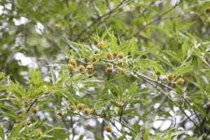 Farnblättrige Rotbuche • Fagus sylvatica Asplenifolia